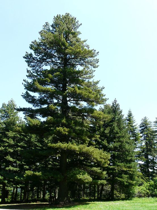 800px-Oldest_Pinus_peuce