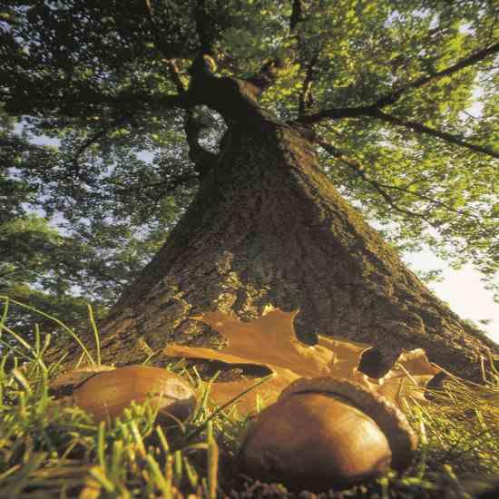 oak-acorns-2