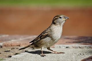 800px-House_sparrow03