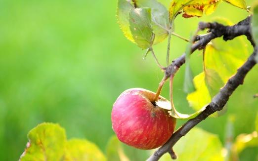 27469846-apple-tree-wallpapers.jpg